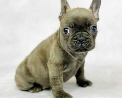 Willing French bulldog puppies ready