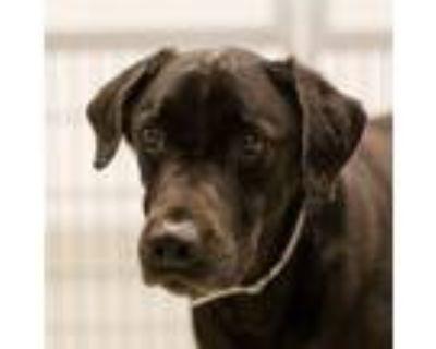 Adopt Sammy a Labrador Retriever / Mixed dog in Houston, TX (32133292)