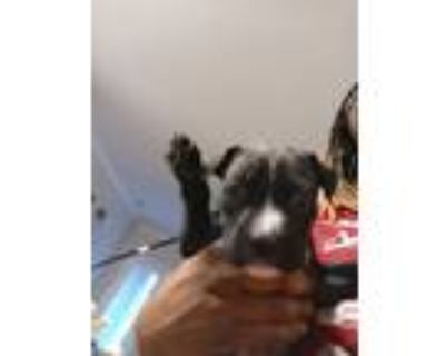 Adopt Panda and panko a Black - with White Cane Corso / Mixed dog in Raleigh