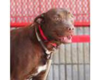 Adopt Belle a Brown/Chocolate Retriever (Unknown Type) / Mixed dog in Atlanta