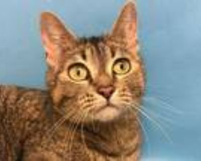Adopt Jiji a Gray or Blue Domestic Shorthair / Mixed cat in Woodbury