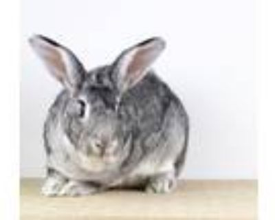 Adopt Puddle a Grey/Silver Chinchilla, Standard / Mixed (medium coat) rabbit in