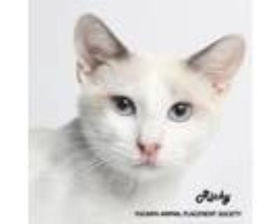Adopt Ricky (937) a White Siamese / Domestic Shorthair / Mixed cat in Yucaipa