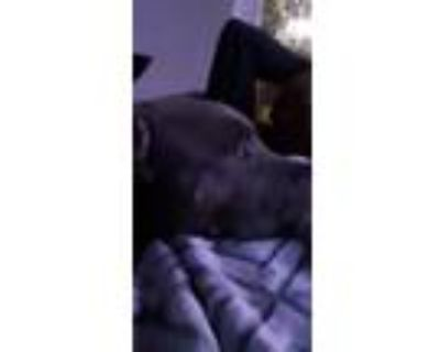 Adopt Nipsey a Gray/Silver/Salt & Pepper - with White American Pit Bull Terrier