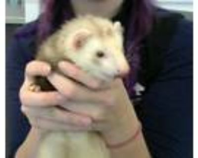Adopt A0849934 a Ferret