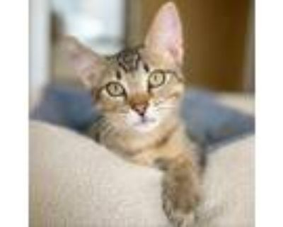 Adopt Freddy a Brown or Chocolate Domestic Shorthair / Mixed cat in