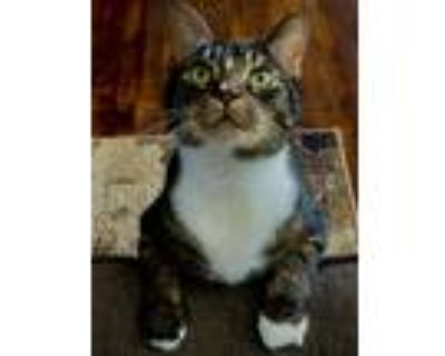 Adopt Marty a Tiger Striped American Shorthair / Mixed (short coat) cat in