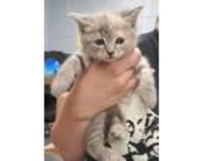 Adopt Priscilla (with Presley) a Domestic Shorthair / Mixed cat in Richmond