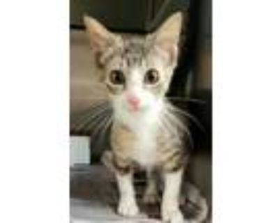 Adopt Force a White Domestic Shorthair / Domestic Shorthair / Mixed cat in