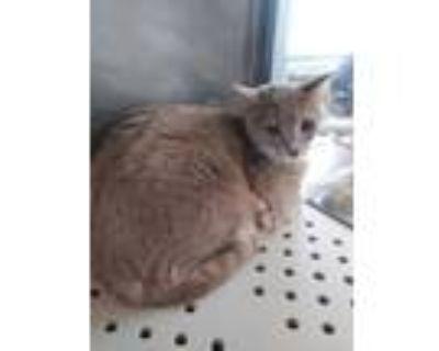 Adopt Margie a Tan or Fawn Domestic Shorthair / Domestic Shorthair / Mixed cat