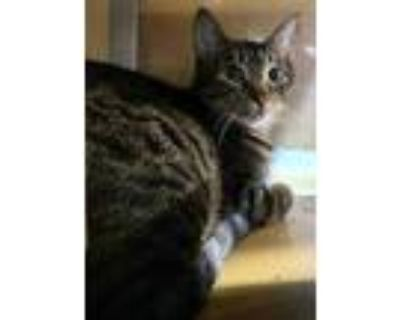 Adopt PICKLES kitten a Brown or Chocolate Domestic Shorthair / Domestic