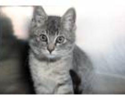 Adopt DASH a Gray, Blue or Silver Tabby American Shorthair / Mixed (short coat)