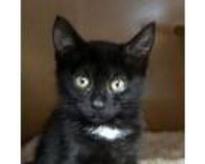 Adopt Indigo a American Shorthair, Domestic Short Hair