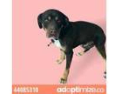 Adopt Chocolate a White Rottweiler / Mixed dog in El Paso, TX (31526131)