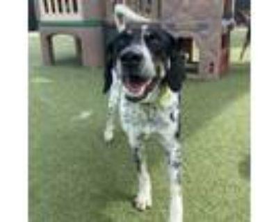 Adopt Jiggs a Bluetick Coonhound, Australian Cattle Dog / Blue Heeler