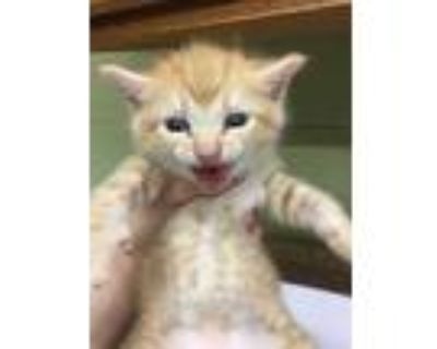 Adopt PENNY a Orange or Red Domestic Shorthair / Mixed (short coat) cat in