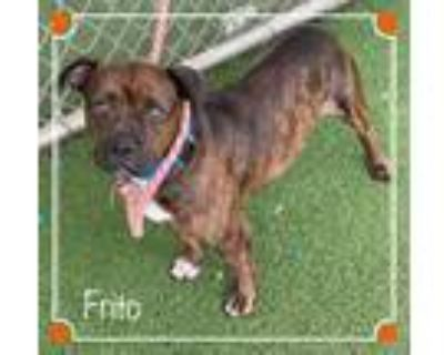 Adopt FRITO a Brindle - with White Basset Hound / Mixed dog in Marietta