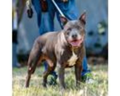 Adopt Gordo a Gray/Silver/Salt & Pepper - with White Pit Bull Terrier / Mixed