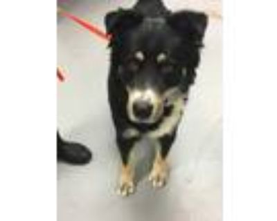 Adopt 48243182 a Black Shepherd (Unknown Type) / Mixed dog in Los Lunas