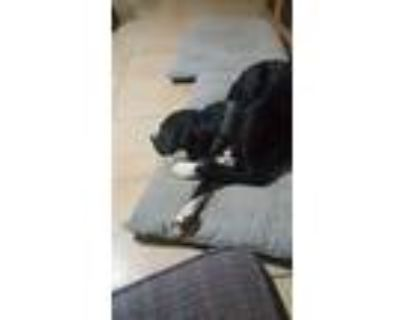 Adopt Harley a Black - with White American Pit Bull Terrier / American
