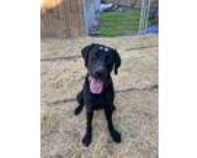 Adopt Aries a Black Labrador Retriever / Mixed dog in Portland, OR (30863279)