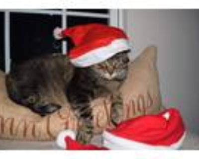 Adopt Vito a Tiger Striped American Shorthair / Mixed (short coat) cat in