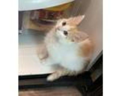 Tofu, Domestic Longhair For Adoption In Fort Worth, Texas