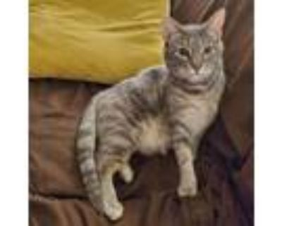Adopt Mrs. Parker a Gray or Blue Domestic Shorthair / Mixed cat in Houston