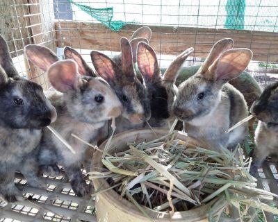 6 week old Harlequin Rabbits
