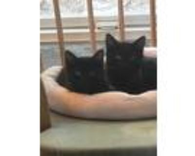 Adopt JUNEBUG & GRACIE a Black (Mostly) Domestic Shorthair (medium coat) cat in