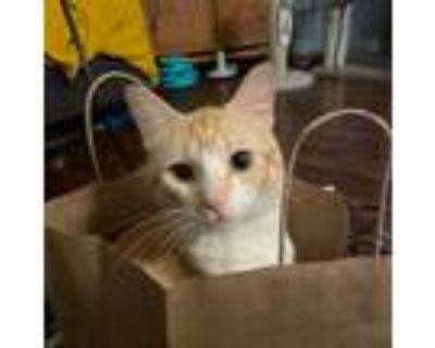 Adopt Pudding a Orange or Red Domestic Shorthair / Mixed cat in St Paul