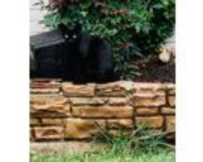 Adopt Artful Dodger a American Shorthair