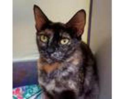 Adopt Britannia a All Black Domestic Shorthair / Domestic Shorthair / Mixed cat