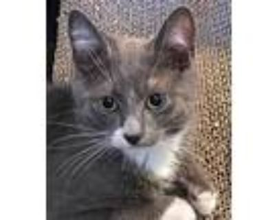 Adopt Cody the Kitten a Gray or Blue (Mostly) Domestic Shorthair / Mixed (short
