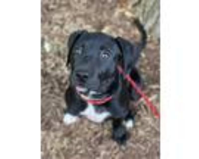 Adopt Henley a Black - with White Labrador Retriever / American Pit Bull Terrier