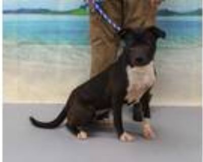Adopt CHESTY MORGAN a Brown/Chocolate American Pit Bull Terrier / Mixed dog in