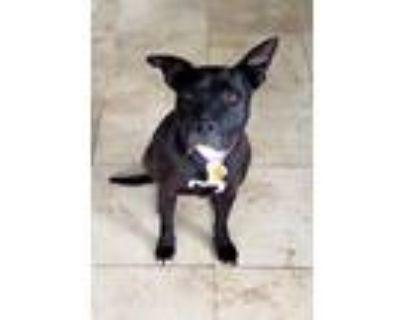 Adopt Shay Davis Lonestar a Black - with White Pit Bull Terrier / Labrador