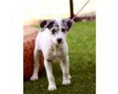 Adopt Sage a Catahoula Leopard Dog, Labrador Retriever