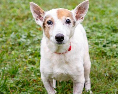 Gala 10182 - Terrier, Jack Russell/Mix - Senior Female