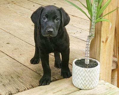 AKC Registered Black Lab Puppies!!!