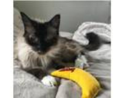 Adopt Misty a Cream or Ivory Siamese (long coat) cat in Los Angeles