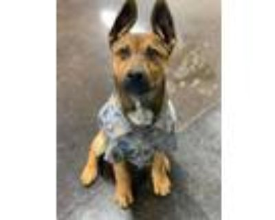 Adopt Cerulean a Cattle Dog, Mixed Breed
