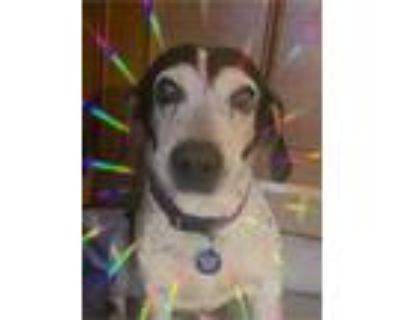 Adopt George Washington a Beagle, Australian Cattle Dog / Blue Heeler
