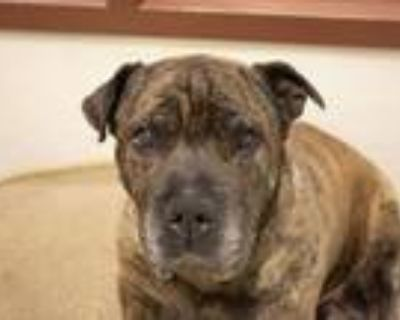 Adopt POPS a Shar-Pei, Mixed Breed