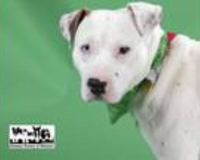 Adopt JUNIOR a Pit Bull Terrier, Mixed Breed