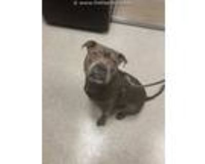 Adopt JUGHEAD a Black American Pit Bull Terrier / Mixed dog in Lincolnton