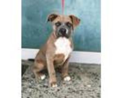 Adopt PAX a Brown/Chocolate American Pit Bull Terrier / Mixed dog in Hayward