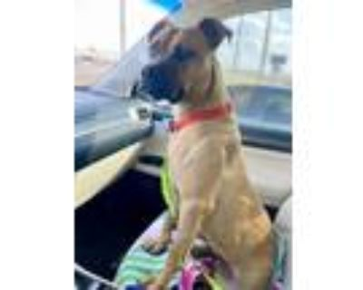 Adopt Roderick a Boxer, Black Mouth Cur