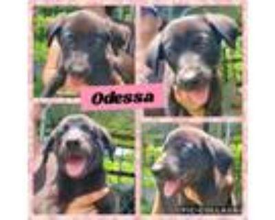 Adopt Odessa a Black Labrador Retriever / German Shepherd Dog / Mixed dog in