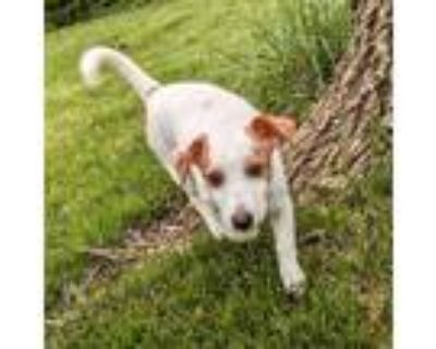 Adopt Carmen a White Jack Russell Terrier / Dachshund / Mixed dog in Shawnee